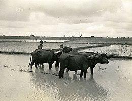 helminthosporium oryzae bengáli éhínség)
