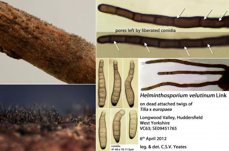 helminthosporium velutinum)