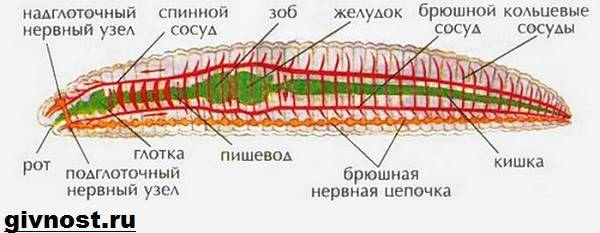 helminták, mint gyermekeknél édesvízi tartály paraziták