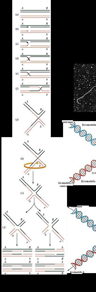 milyen típusú férgek vannak az emberi kromoszómákban