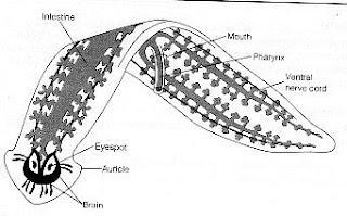 ocelli platyhelminthes)