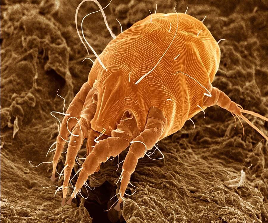 paraziták a fülekben