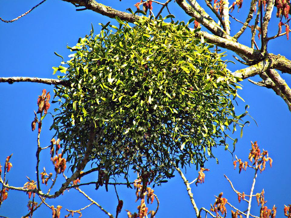 fa parazita kezelés