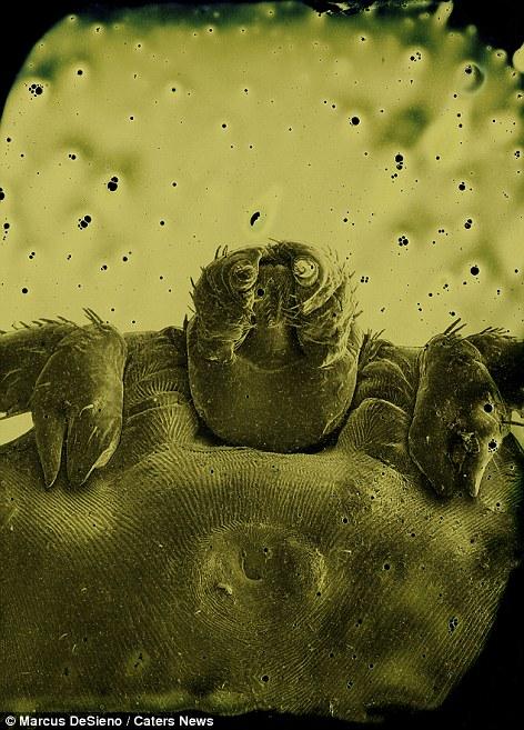 piócák, mint paraziták