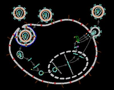 platyhelminták szaporodási ciklusa