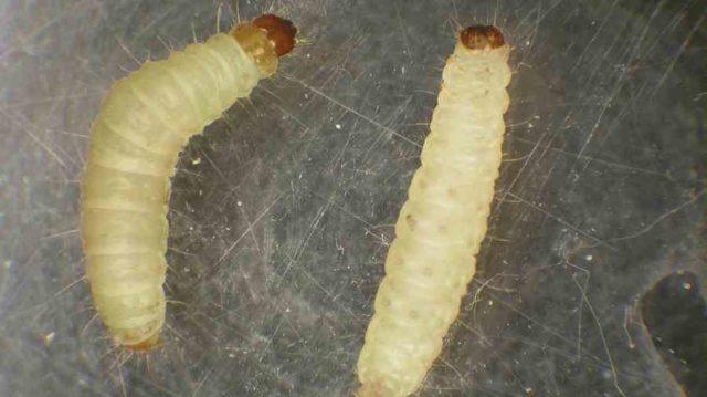 szalagféreg lárvák a húsban a paraziták kínozzák az akvarellákat