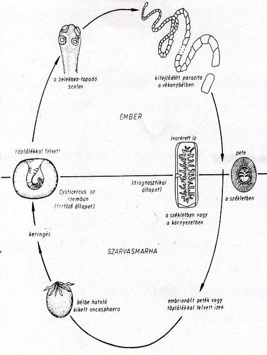 szarvasmarha szalagféreg a vékonybélben