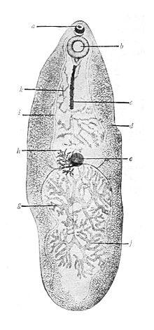 trematode paraziták jumeaux paraziták a chine- t