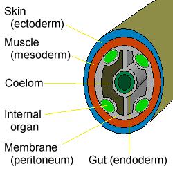 Különbség Coelom és Haemocoel között   Coelom vs Haemocoel - - Tudomány és természet