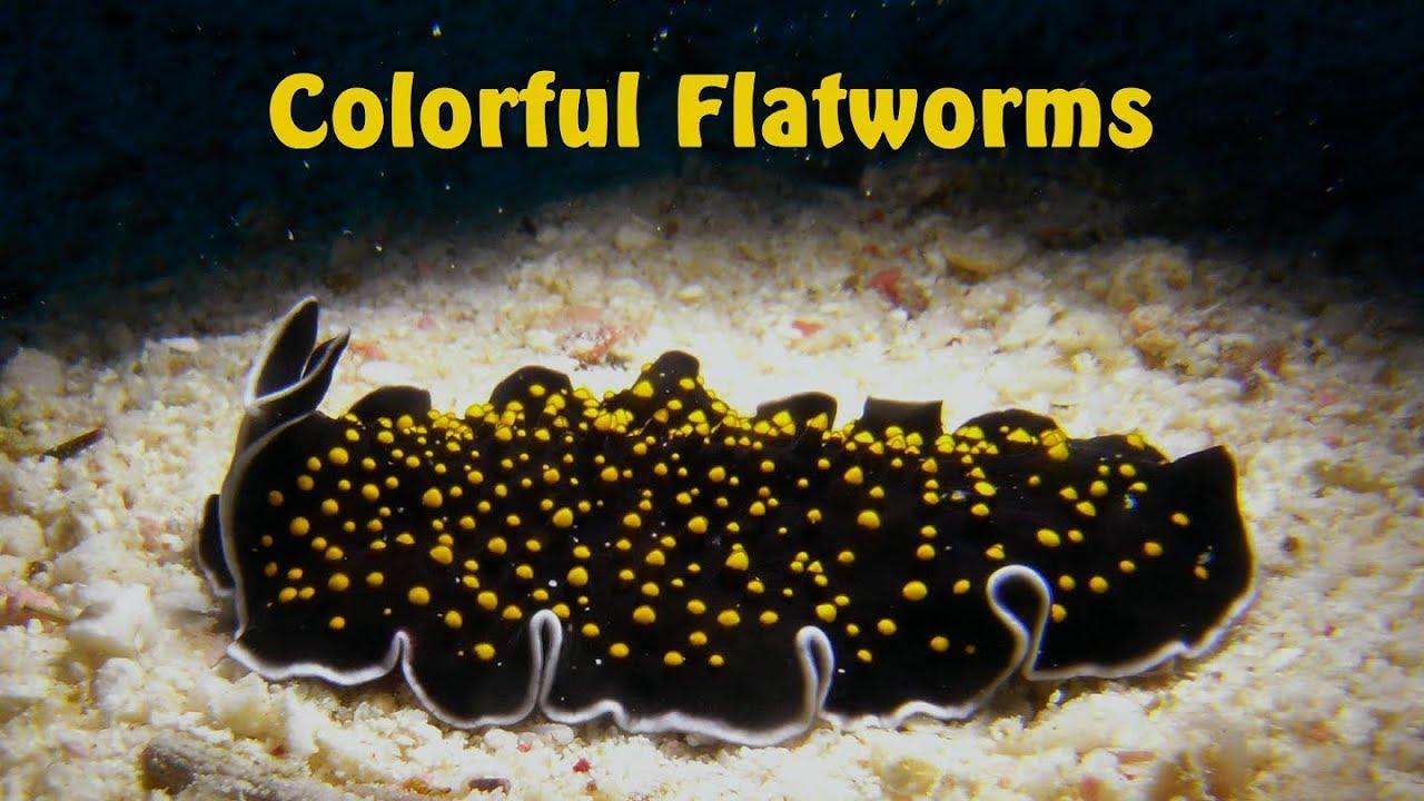 platyhelminthes turbellaria példák)