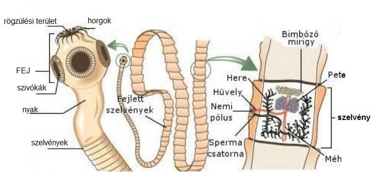 paraziták az emberi izmok kezelésében a kerek féreg átadása egy személy számára