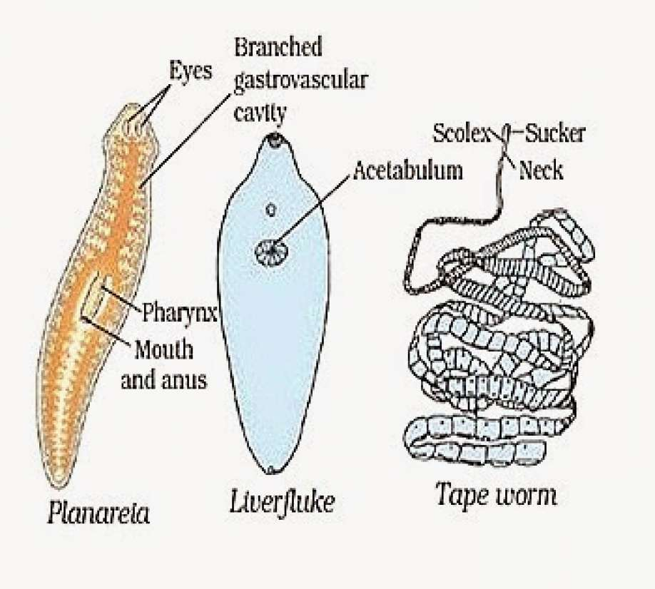 plathelminthen taxonok