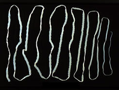 galandfereg larvajaval fertozott)