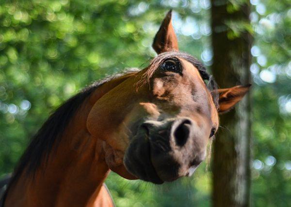 Néhány fontos kérdés a lovak galandférgességéről