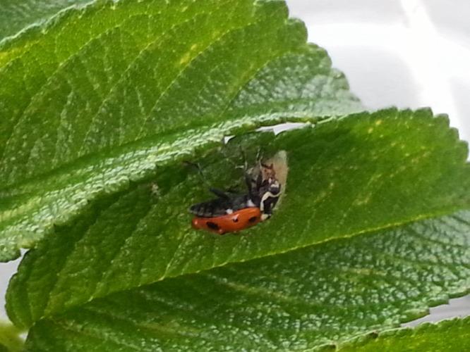 parazita rovartojásokban)