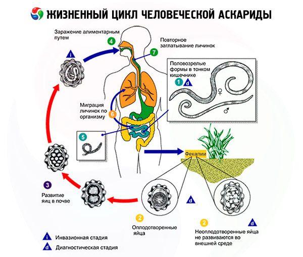 Az ascaridok fejlesztése és életciklusa
