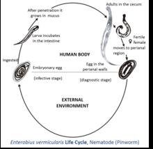 enterobiosis patogenezis)