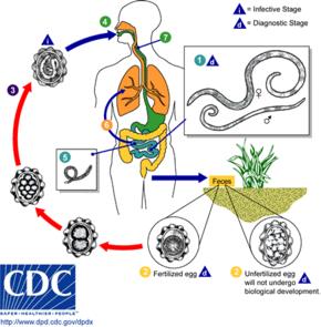 helminthiases ascariasis enterobiasis