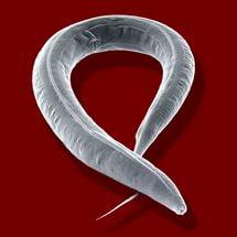 protozoan paraziták embereken tünetek)