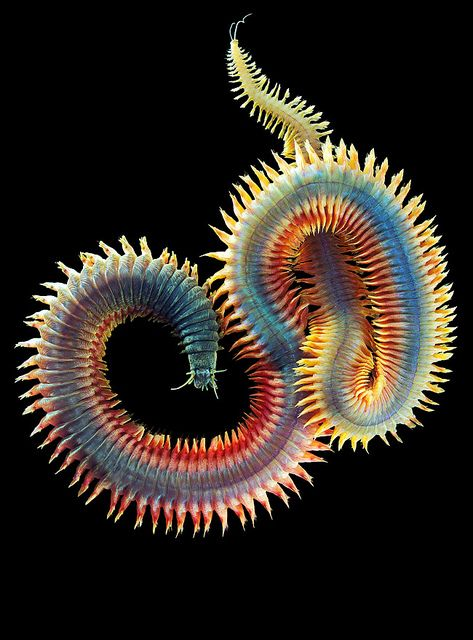 tengeri aschelminthes horogféreg
