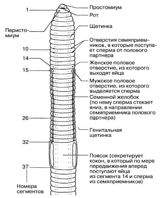 az emberi körféreg táplálása és emésztése)