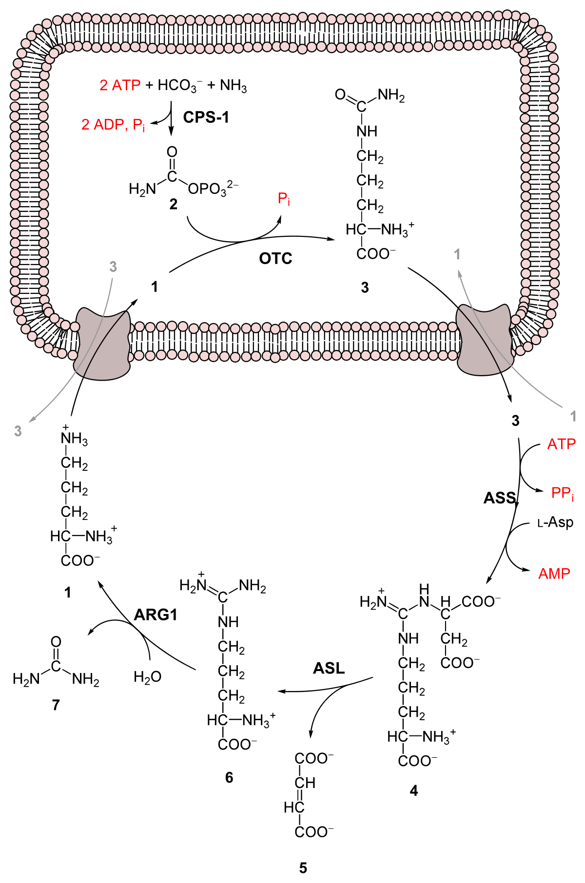 ornitin- ammónia paraziták