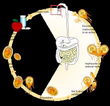 giardia life cycle cdc)