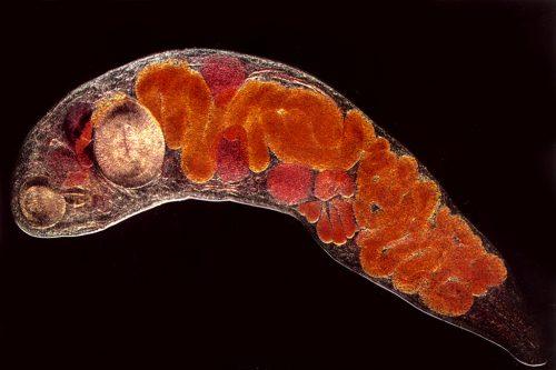 enterobiosis ascariasis hookworm necatorosis