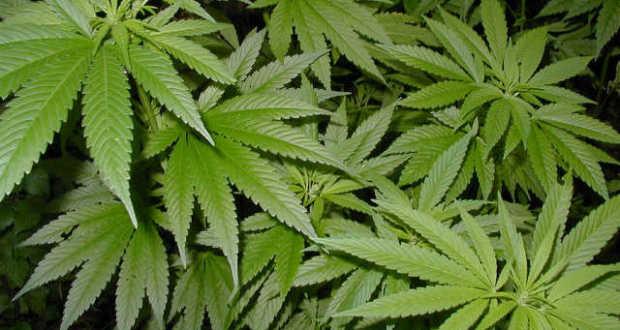 marihuána méregtelenítés