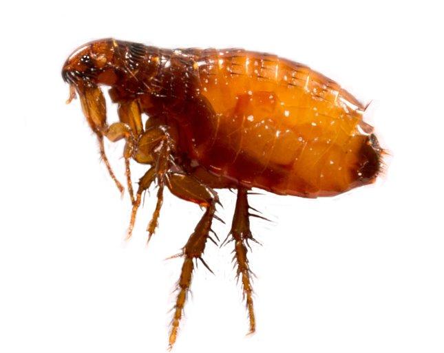 vörösvérsejt- paraziták emberben