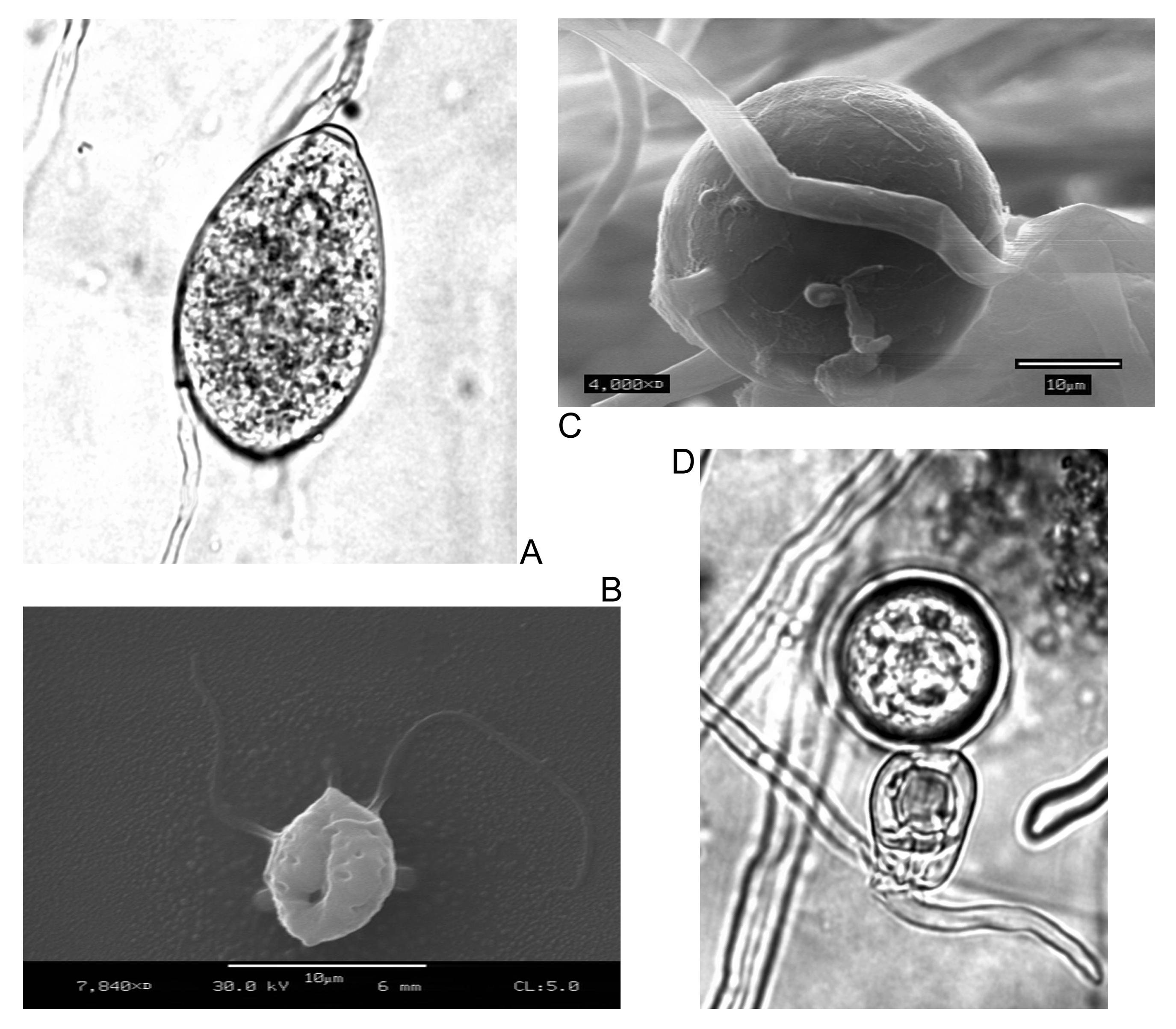 fajok gombás paraziták