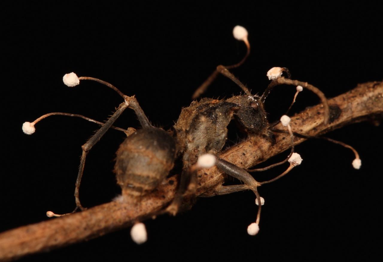Amerikai parazita gyógyszerek)