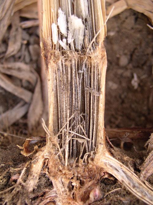 helminthosporium turcicum elleni védekezés