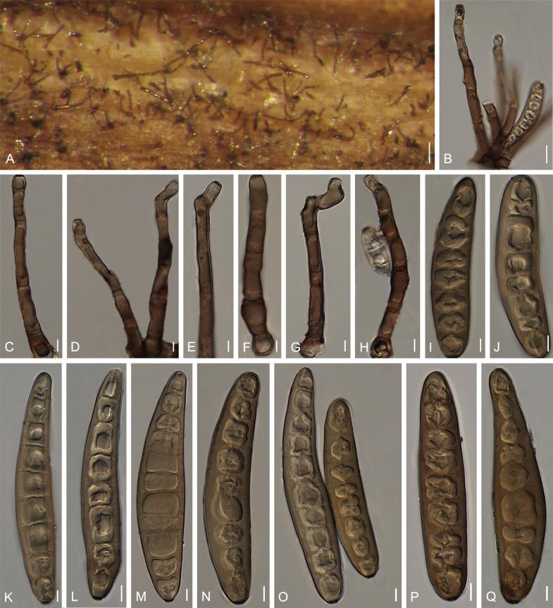 helminthosporium zeicola