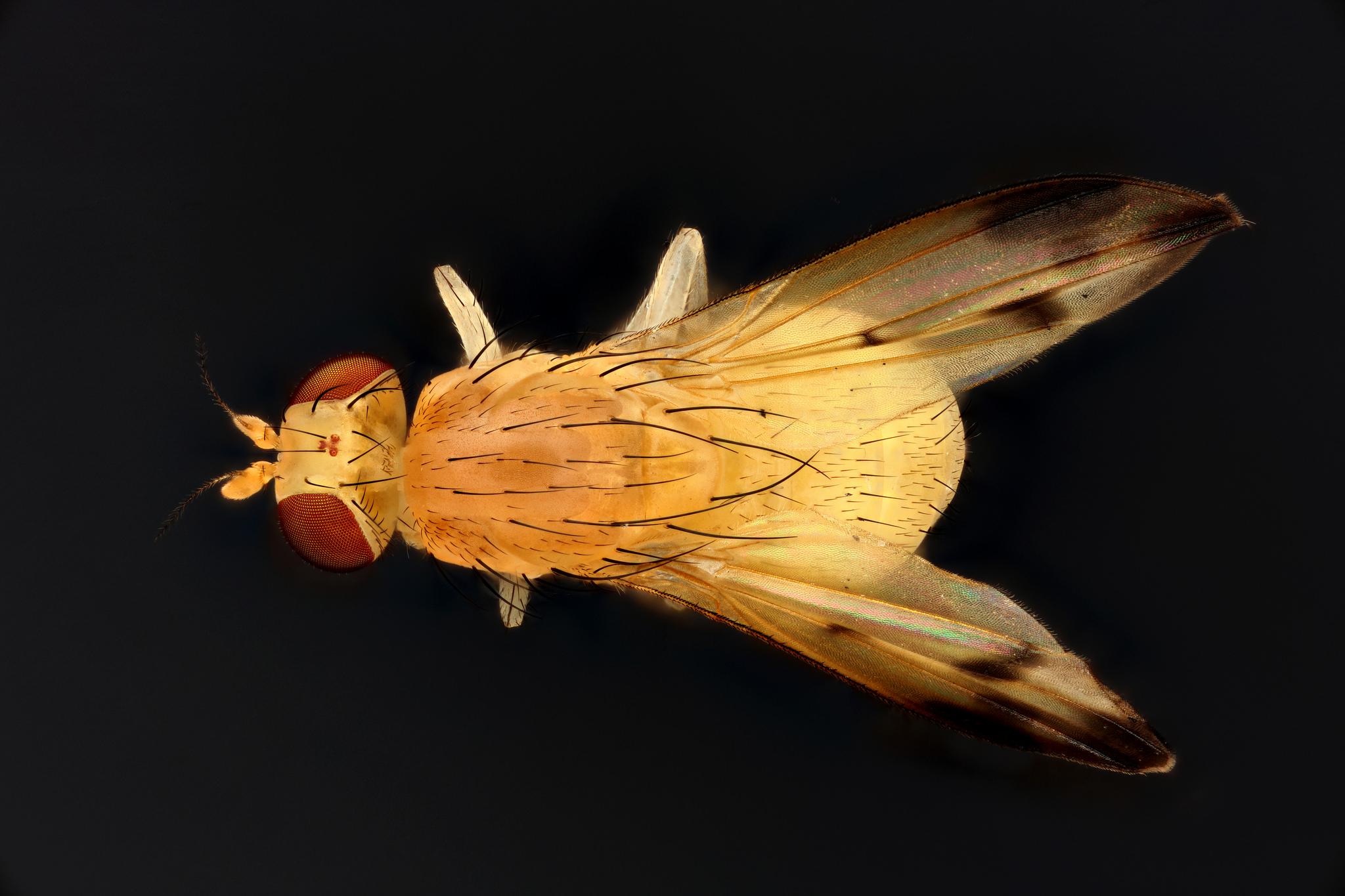 ízeltlábúak által terjesztett paraziták a szem fascioliasis
