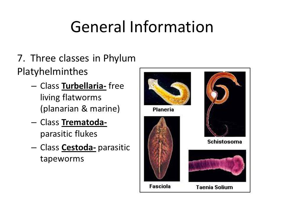 acoelomates platyhelminthes