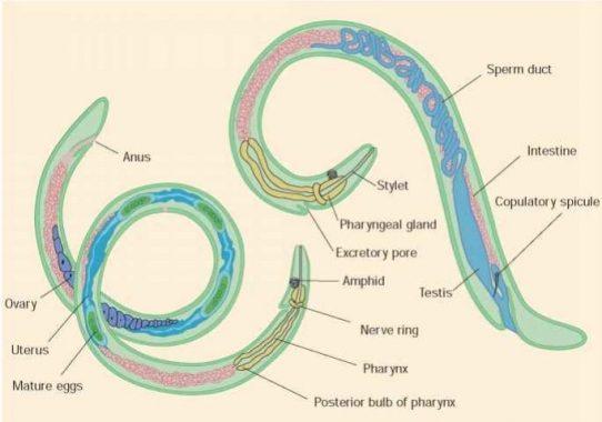 klassifikasi dan contoh nemathelminthes