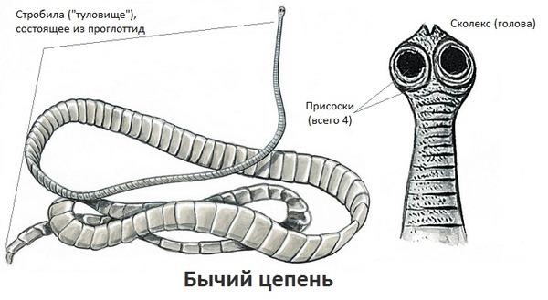 A sertés szalagféreg tünetei és kezelése
