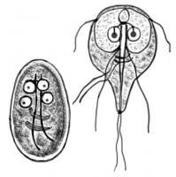giardia behandeling mens