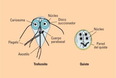 giardiasis y amebas