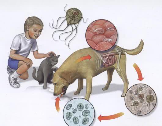 giardia humanos sintomas mely gyógyszer hatékony a férgek ellen
