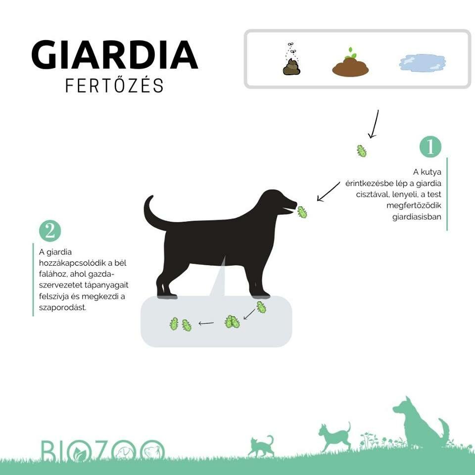 giardiasis tünetek nélkül)