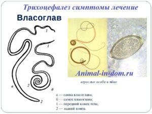 kérődzők trichocephalosis)