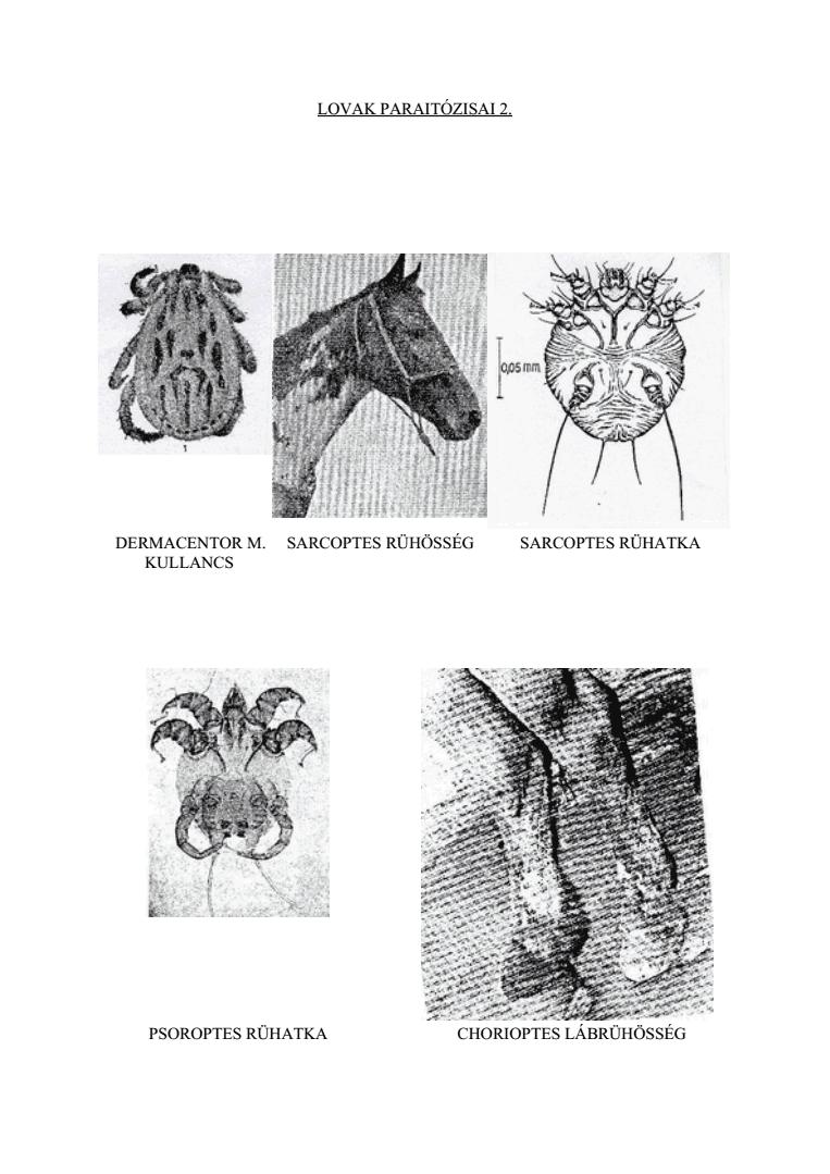 lefolyo férgek giardia duodenalis mensch