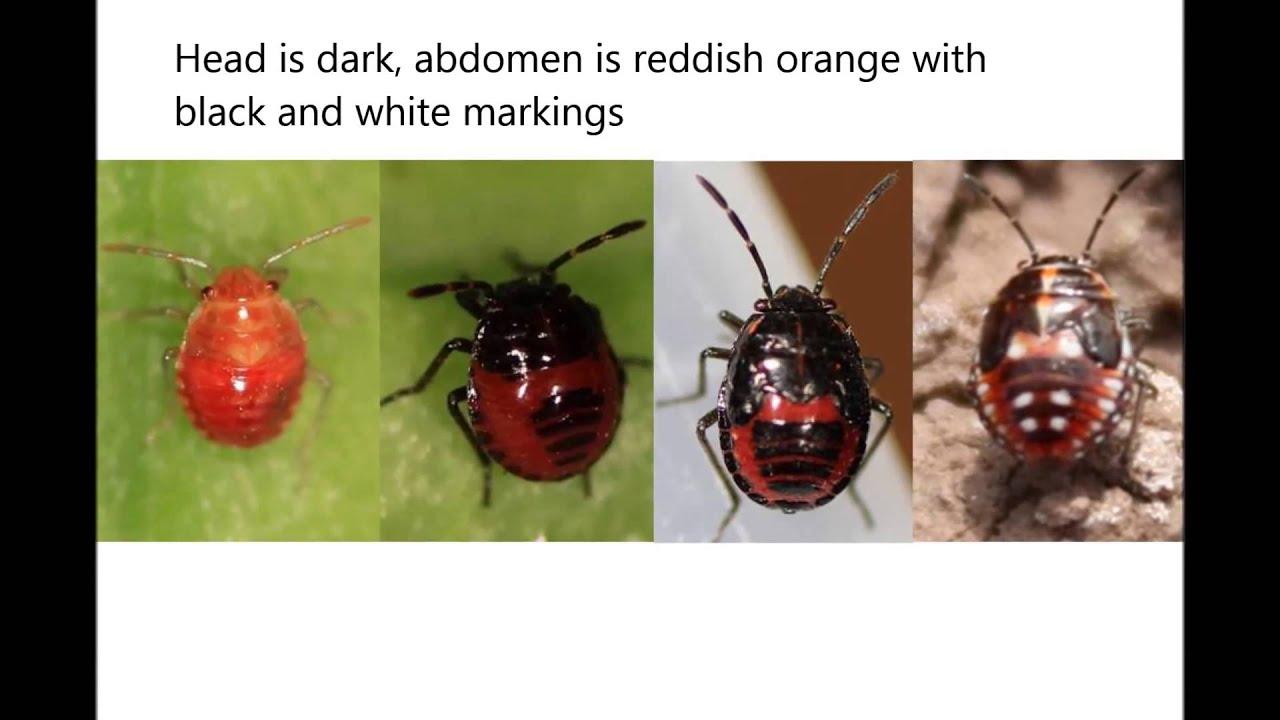 parazita rovartojásokban talaj által terjesztett helminták adalah