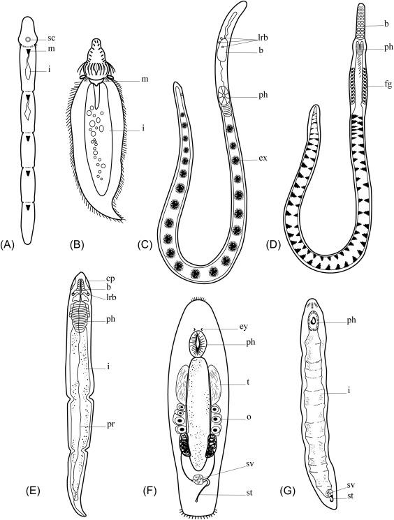 phylum platyhelminthes jelentése)