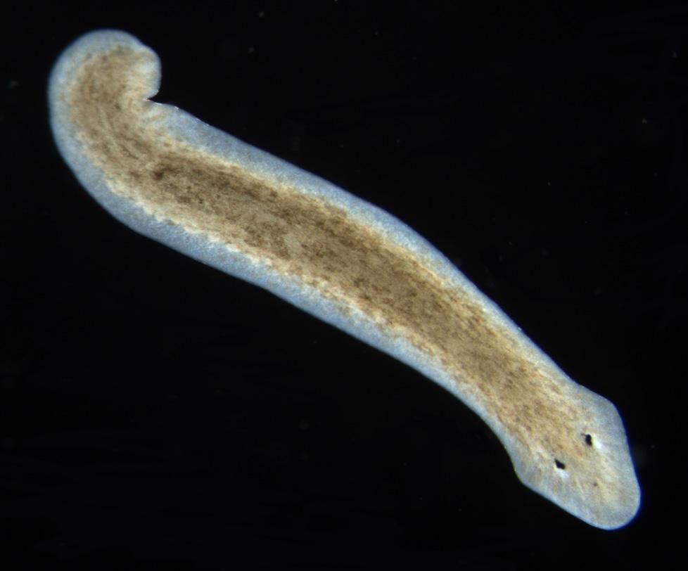 platyhelminthes planaria alakú)