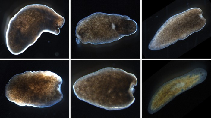 Cnidarian vs Platyhelminthes