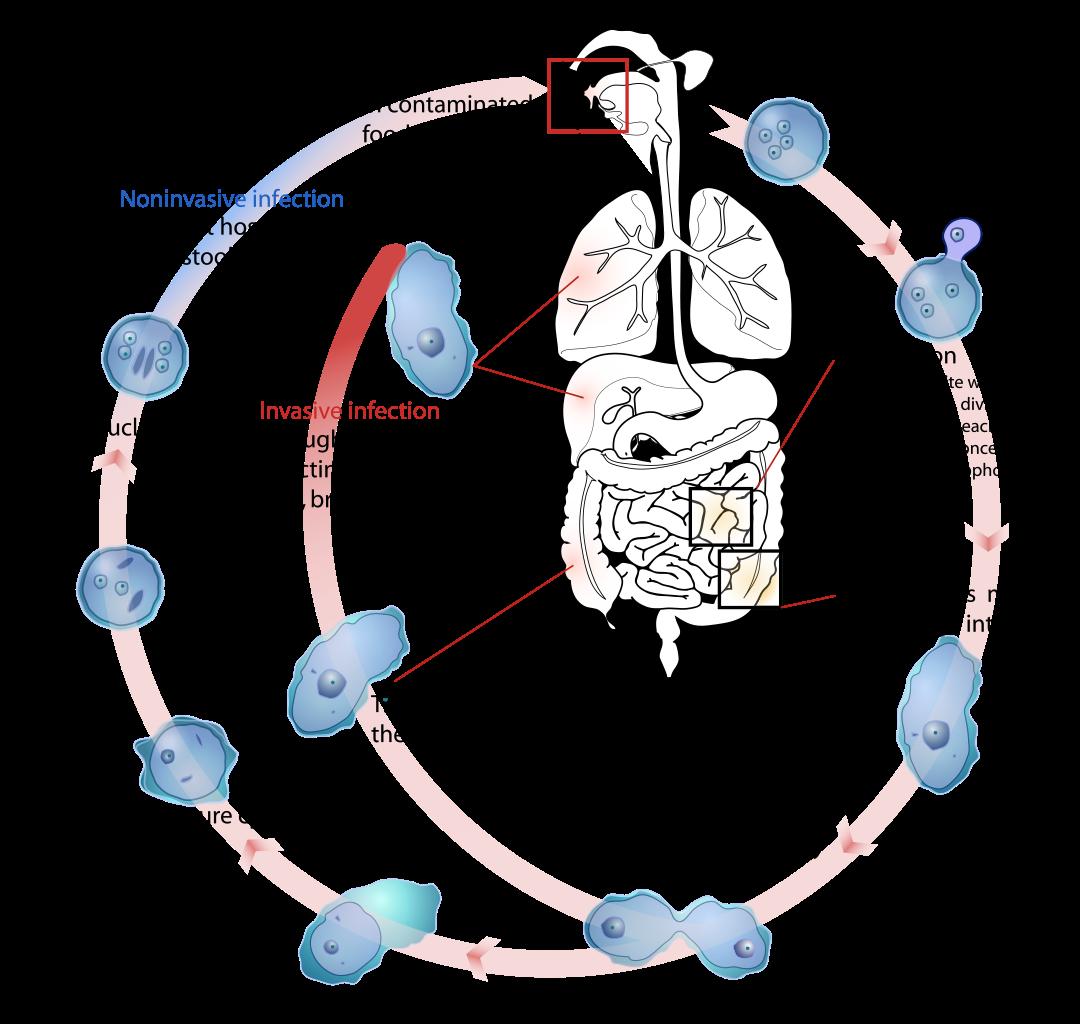 protozoaires paraziták bélben