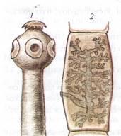 szarvasmarha szalagféreg által érintett szervek